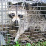 raccoon in cage with babies